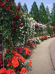Rose garden mal