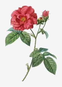 Vector-apothecary-s-rose