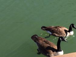 School Geese