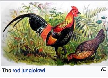 Wench red junglefowl