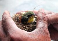 Wench bird nest 2
