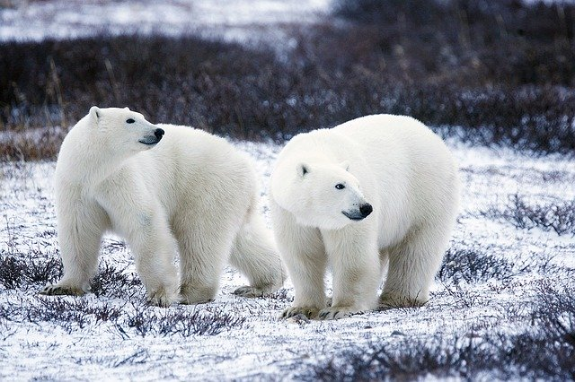 Wench polar-bears-1665367_640