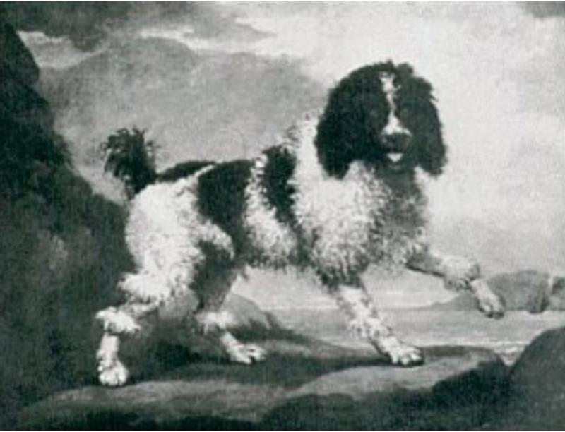 George Stubbs Paintings gefore 1806  The Poodle