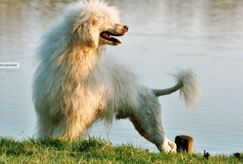 Portuguese watrer dog wiki