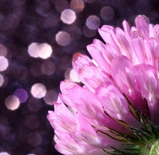 Pink_Clover_(211935993)