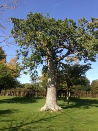 Oak rear