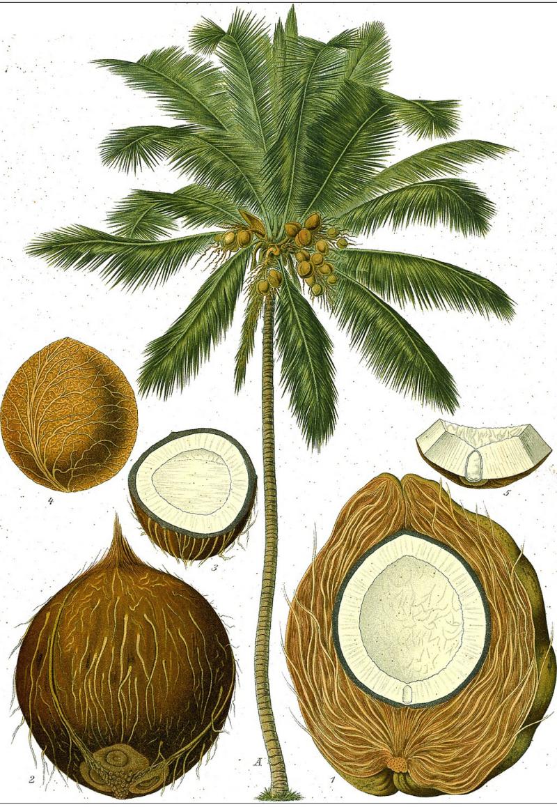 Coconut wiki