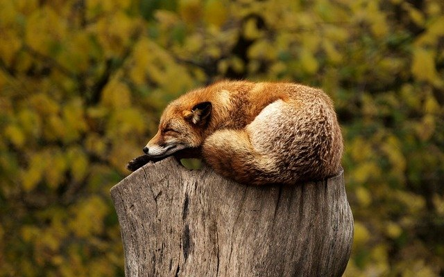 Fox-1284512_640