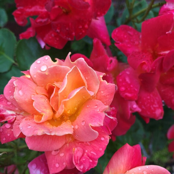 Andrea's roses