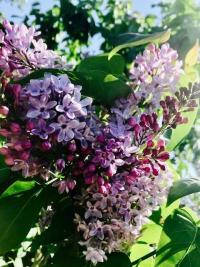 Anne's lilac