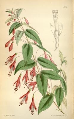 Fuchsia coccinea Aiton