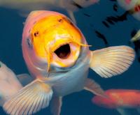 Ornamental-fish
