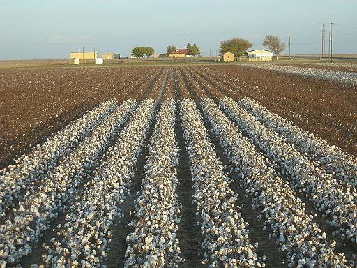 Cotton_field_kv41