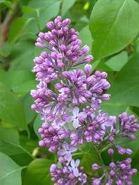 Lilac9