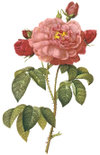 Redoute_rose