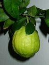 Citronwki