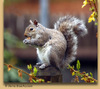 An_squirreleastgray