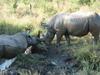 Rhinos_4