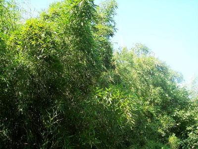 Bamboo1_3